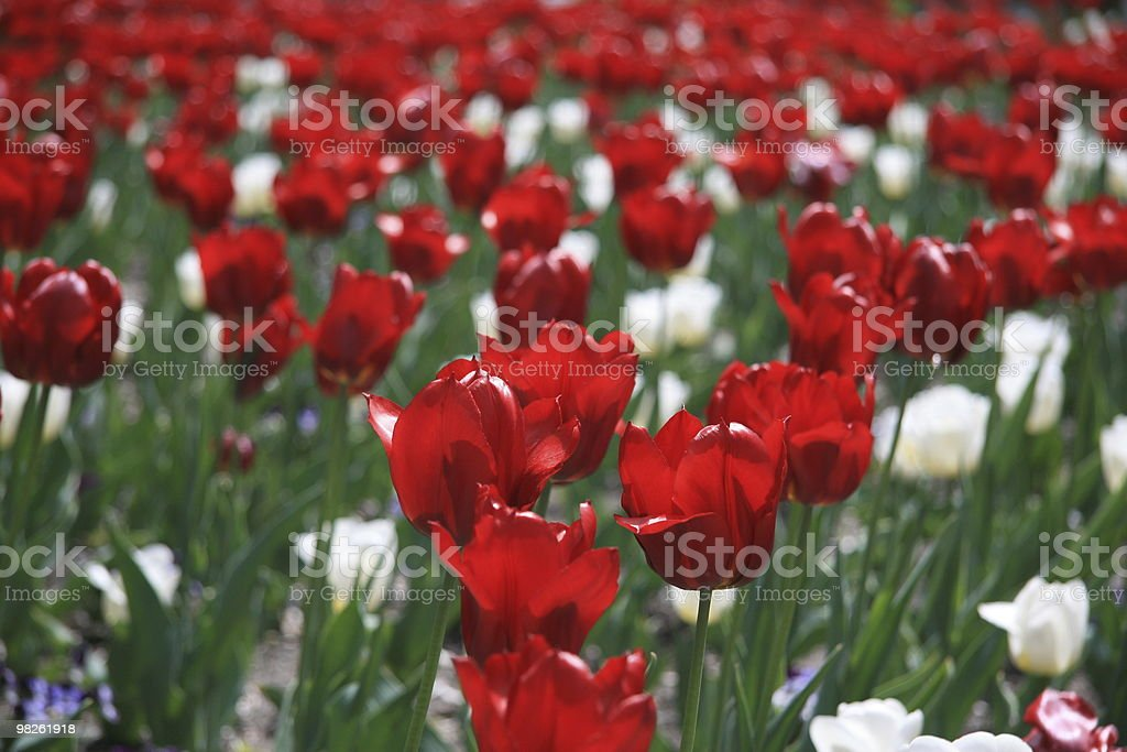Red tulips at spring royalty-free stock photo