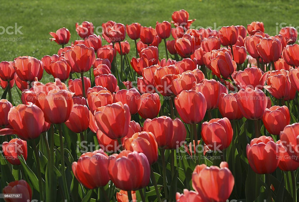 Red tulips background royalty-free stock photo