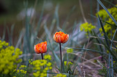 Two orange tulips grow in the forest