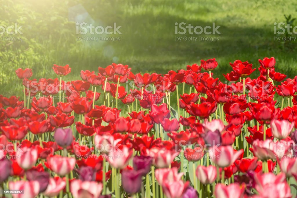 Red tulips blooming in a park in a flower bed. - Royalty-free Agricultural Field Stock Photo