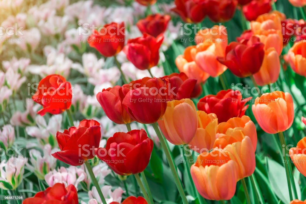 Red tulips blooming in a park in a flower bed. royalty-free stock photo