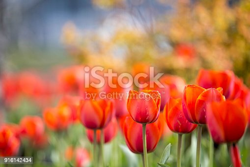 istock Red tulips, blurred 916142434