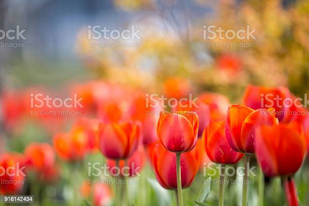 Red tulips blurred picture id916142434?b=1&k=6&m=916142434&s=612x612&h=kpwfvn2qfhsbijaxwipqa8bulbacmdut u4owf3sdpy=