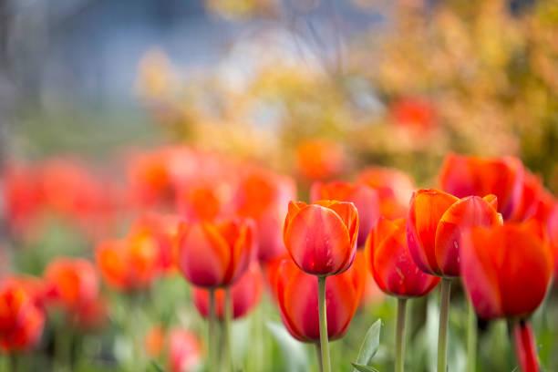 Red tulips blurred picture id916142434?b=1&k=6&m=916142434&s=612x612&w=0&h=yrobn mvpz4n630b nkbt6qwaxqtzczu kgxmwjcdte=