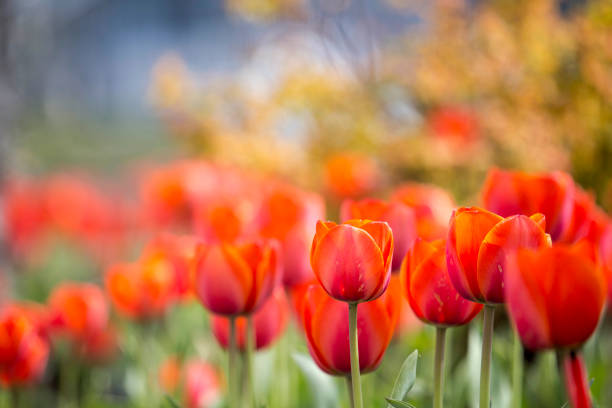 Red tulips, blurred stock photo
