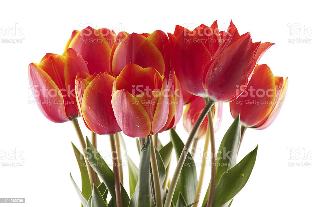 red tulips bouqet royalty-free stock photo
