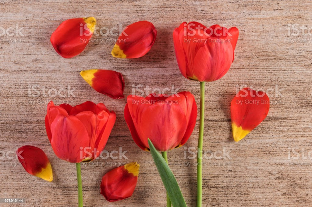 Red tulips decorative arrangement on light brown background. Closeup, top view stock photo