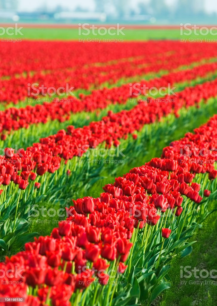 Red tulips farming royalty-free stock photo