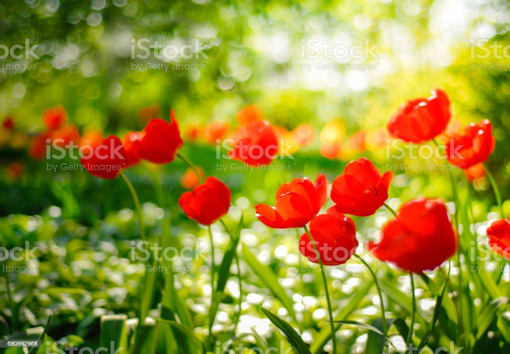 Red tulips field in soft and warm background royalty-free stock photo