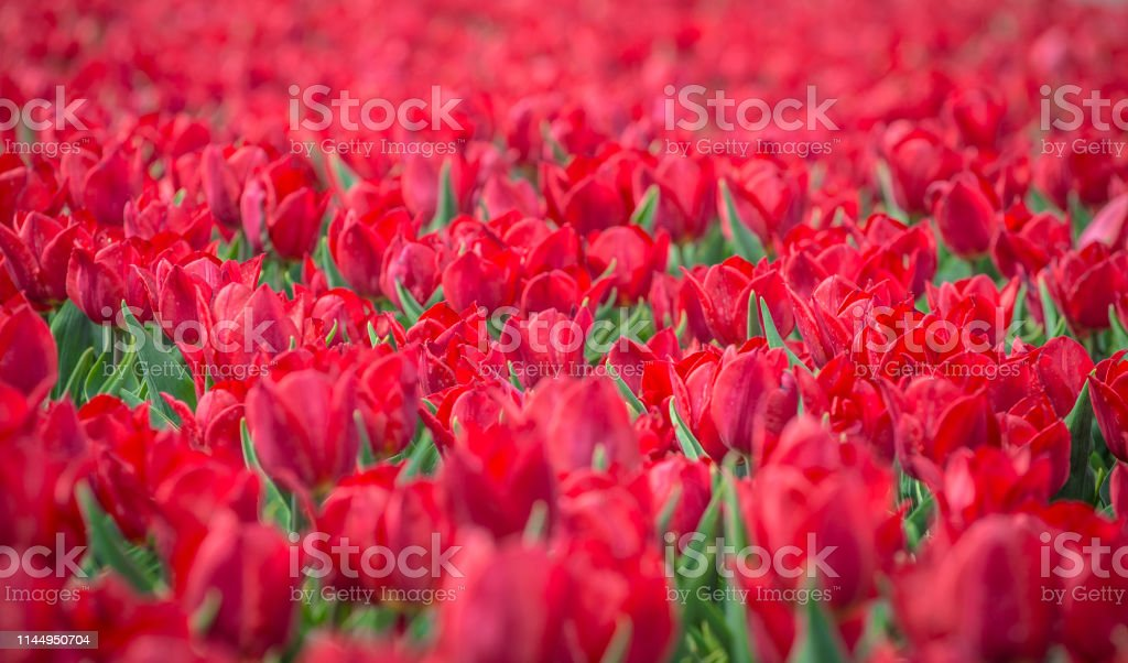 Red tulips flower bed in the park. Red tulip field, spring background...