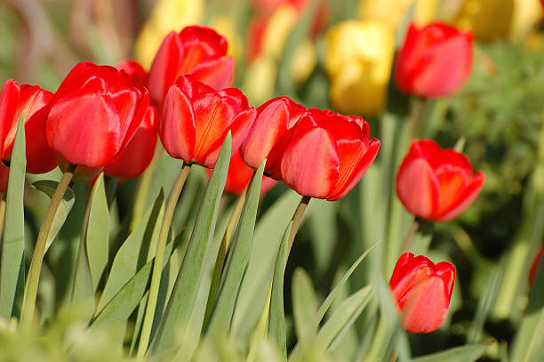 Red tulips in blossom stock photo