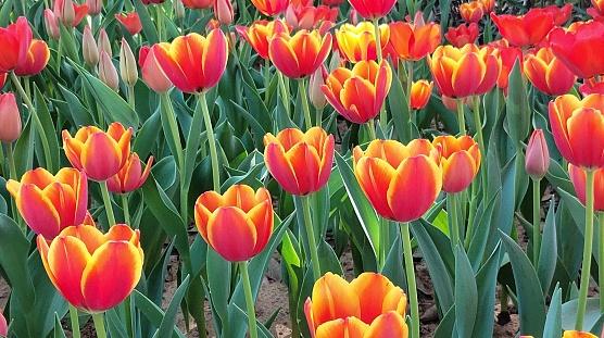beautiful red tulips in garden