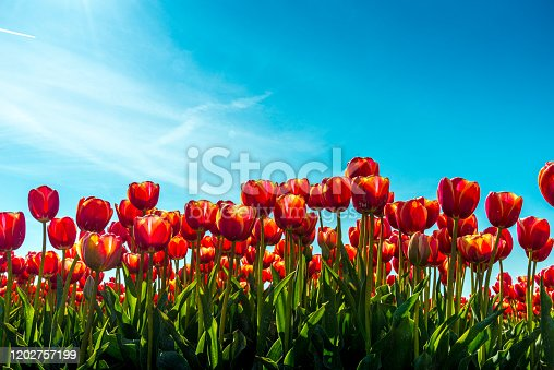 red tulips in flower field, focus on the foreground