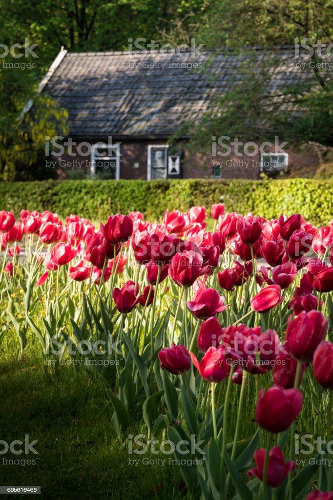 Rote Tulpen vor und alte authentische Haus am Rande des Waldes. – Foto