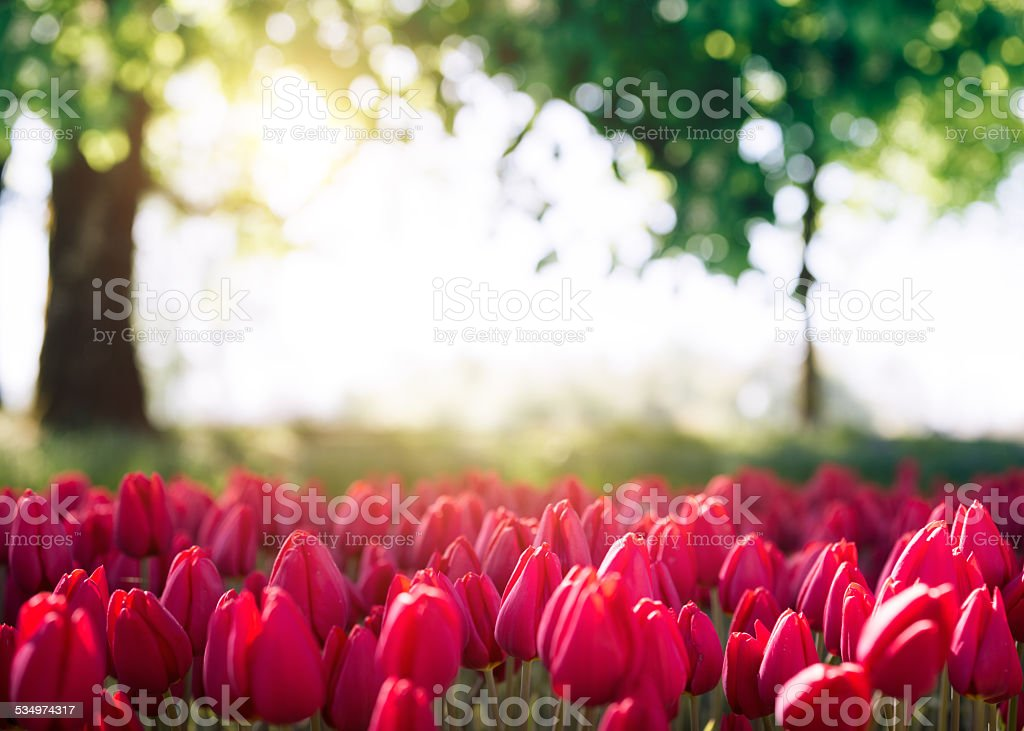 Red Tulips In Park stock photo