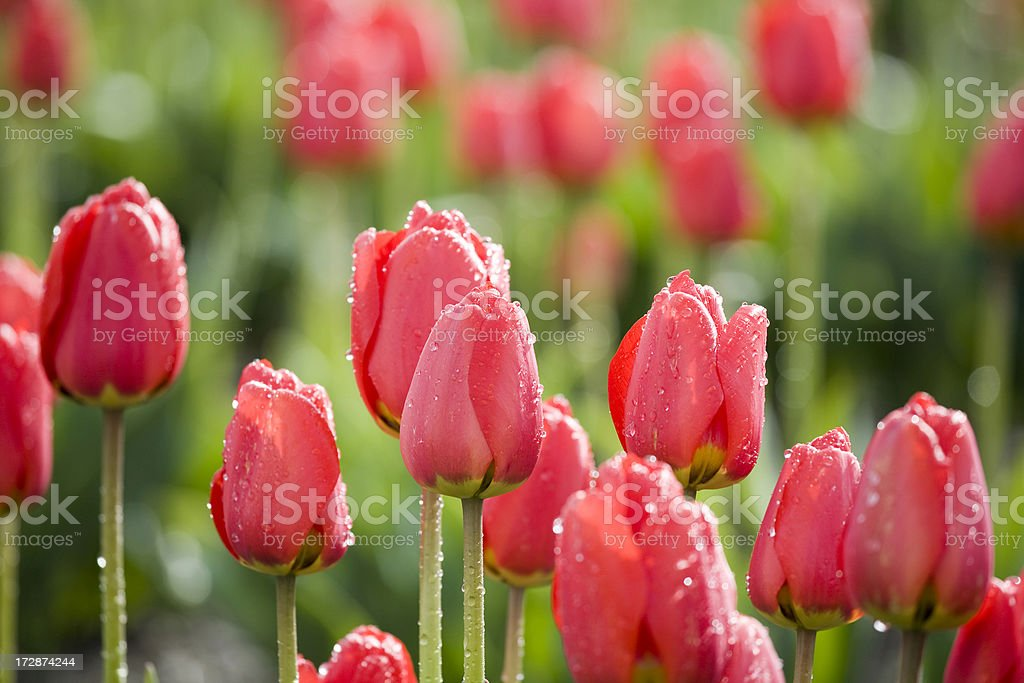 Red tulips in the bright sun, after a rain shower stock photo