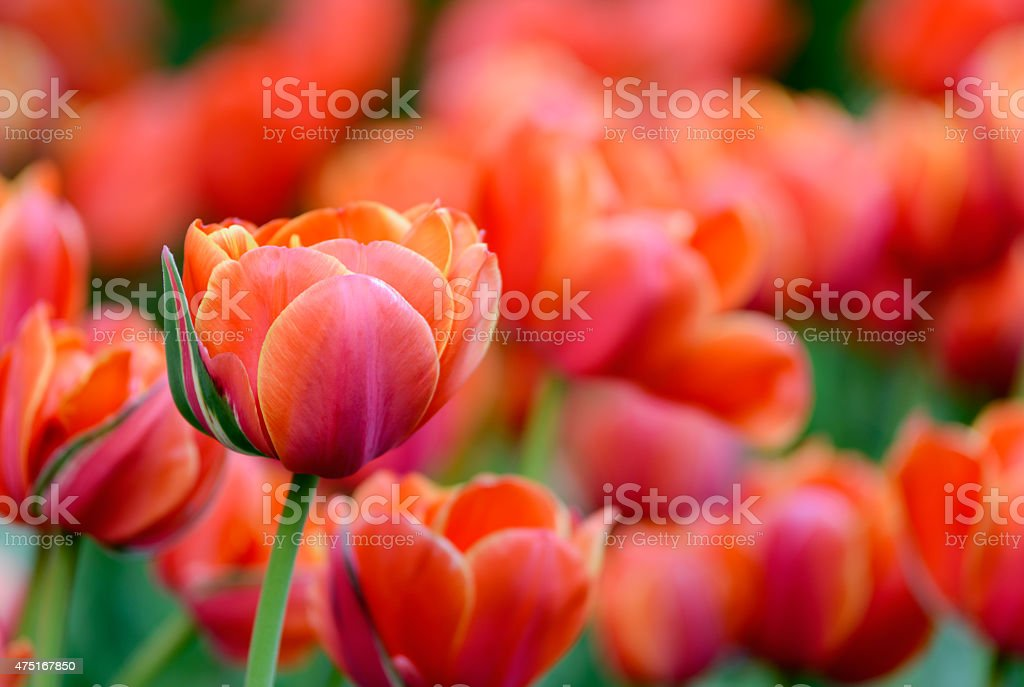 Red tulips in the garden royalty-free stock photo
