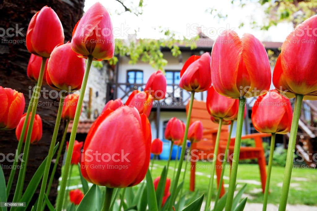 Red tulips in the garden with a house in the background stock photo
