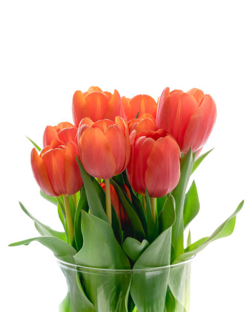 Red tulips in vase close up on white background, isolated, copy space stock photo