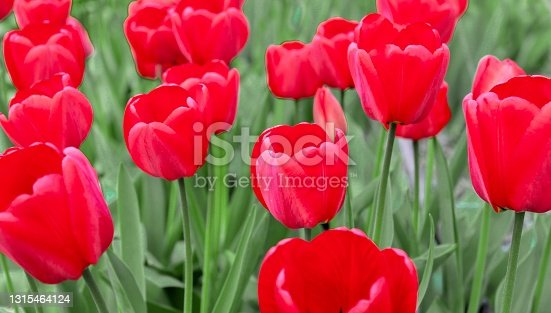 red tulips on a background