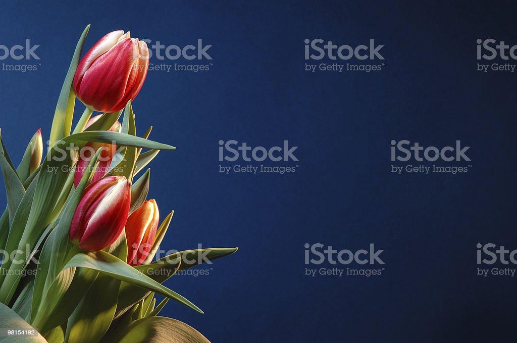 Tulipani rossi su blu foto stock royalty-free