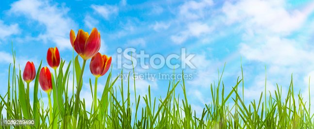 red tulips on blue sky panorama