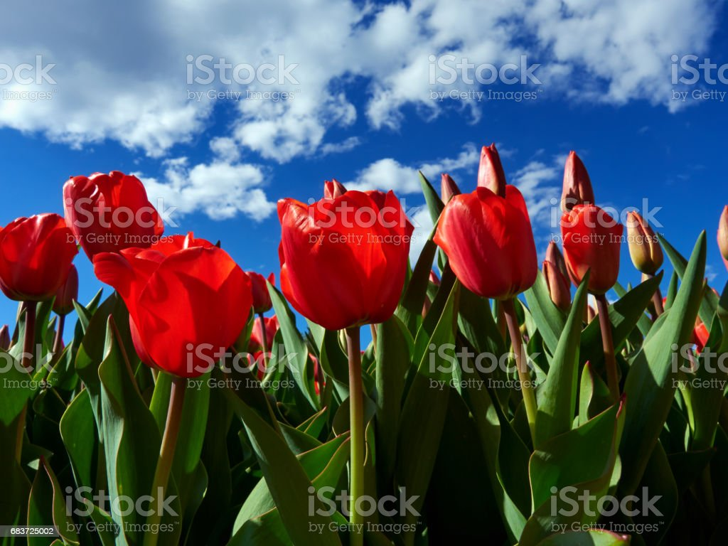 Red tulips on flowerbed stock photo