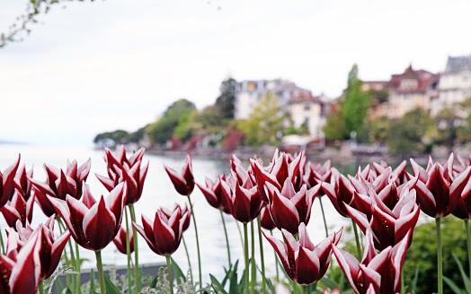 red tulips on Lake Geneva blured background