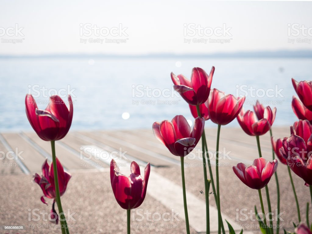 Red tulips on the shore of Garda lake. stock photo