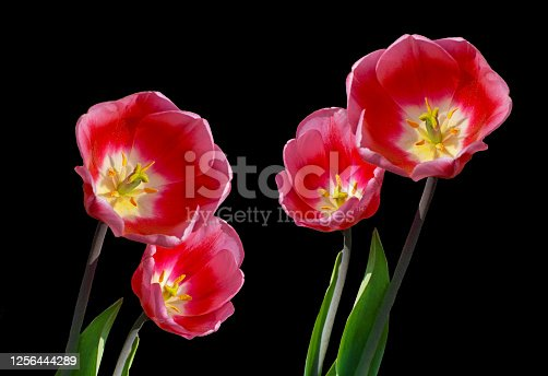 Close up of the Red Tulips on the black background  studio Shoot in New Delhi India.