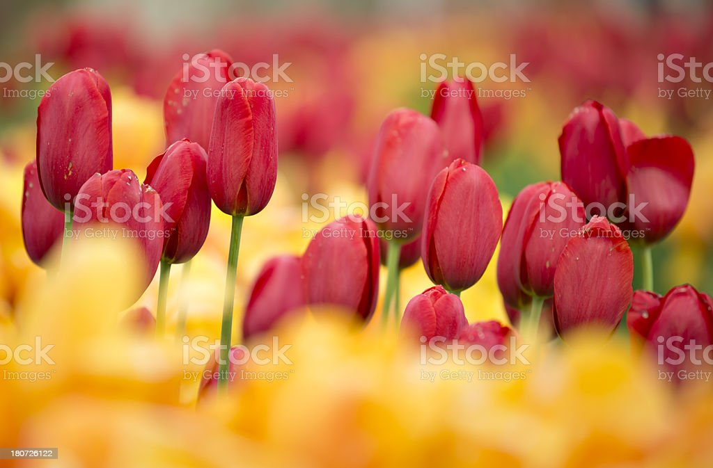 Red Tulips stock photo