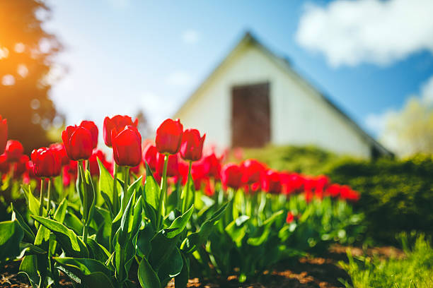 red tulips - house with flowers stock photos and pictures