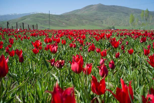 rote tulpen - ohrringe tropfen stock-fotos und bilder