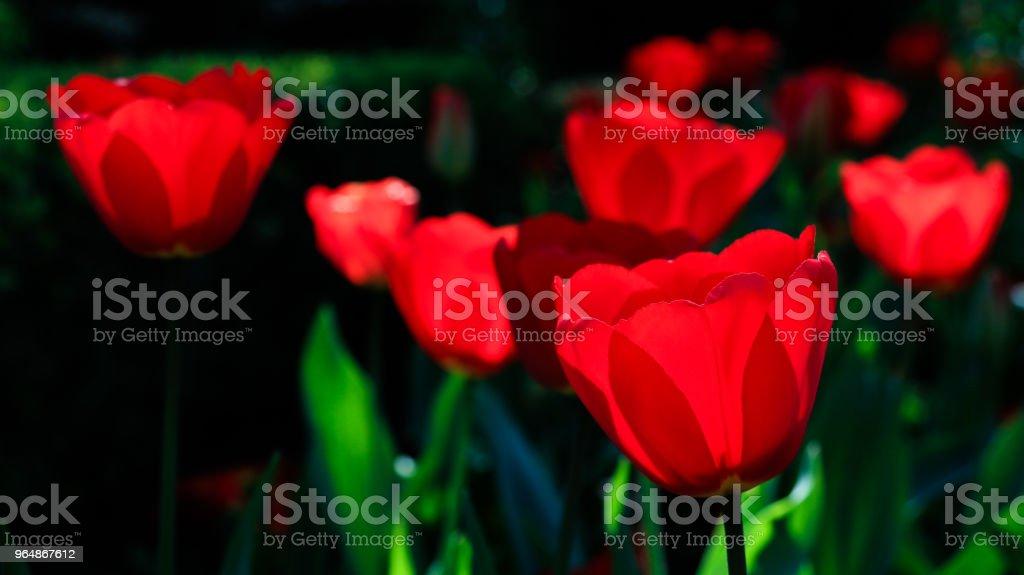 紅色鬱金香 - 免版稅大自然圖庫照片