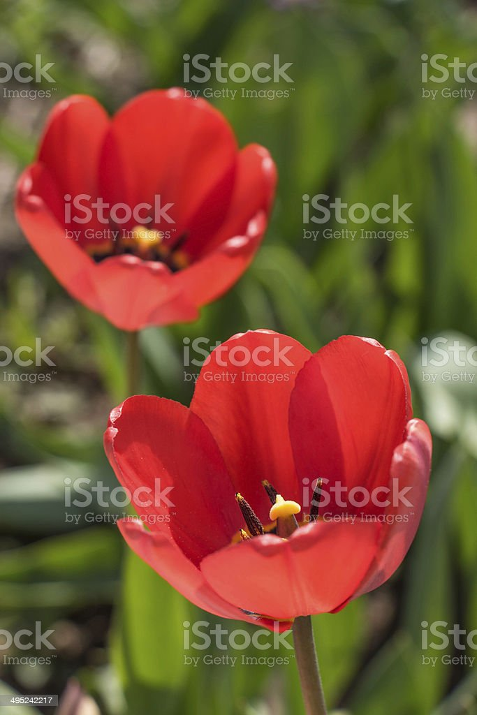 Red Tulips spring blossom on green grass royalty-free stock photo