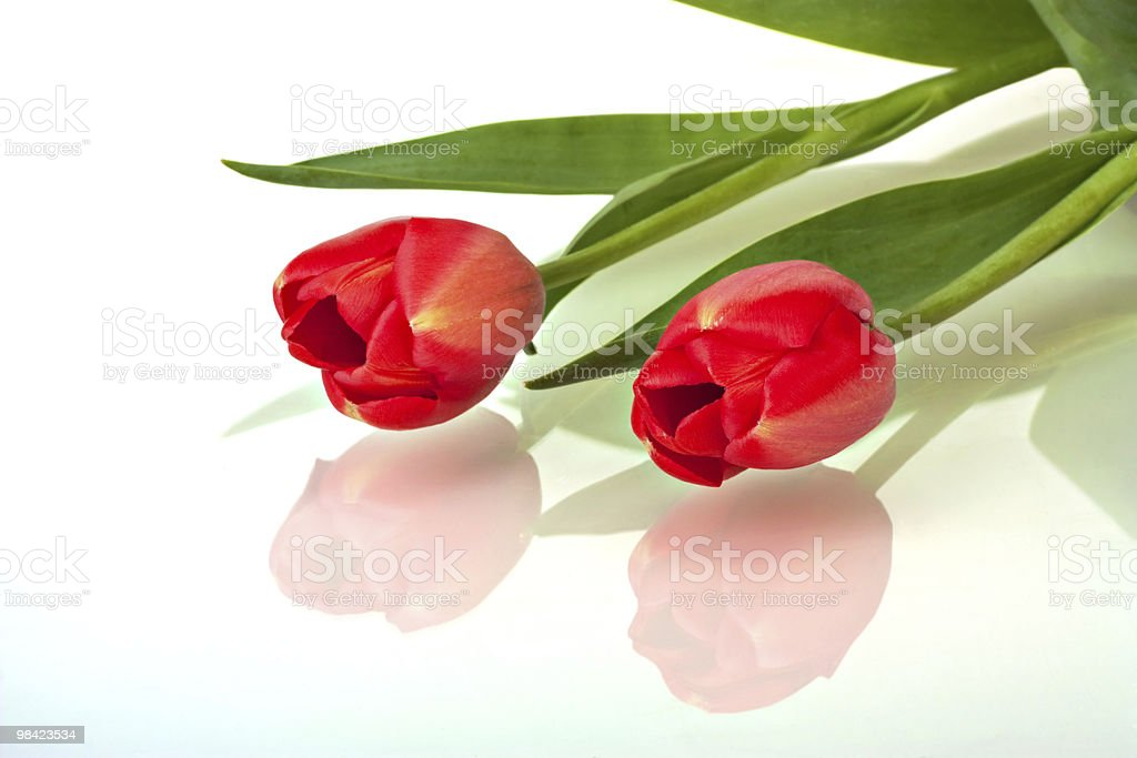 Red Tulips, Tulipa royalty-free stock photo