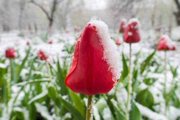 Red tulips under spring snow on the garden picture id908821086?b=1&k=6&m=908821086&s=612x612&w=0&h=5niyvune0rfo3ncpxkbjlsyma3w5srotdi5t xwemxg=