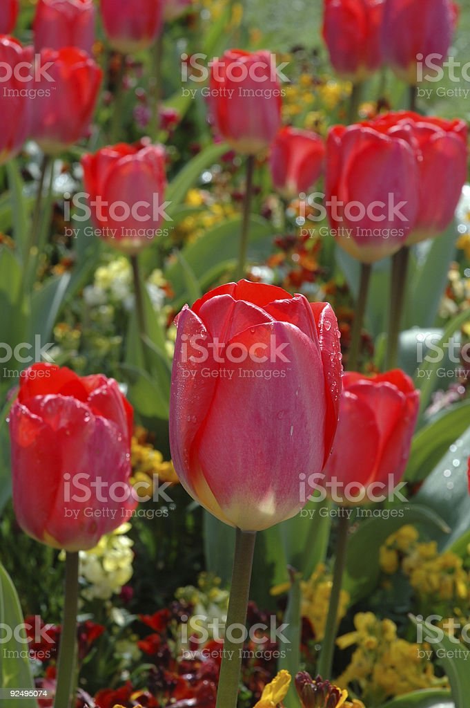 red tulips with raindrops royalty-free stock photo