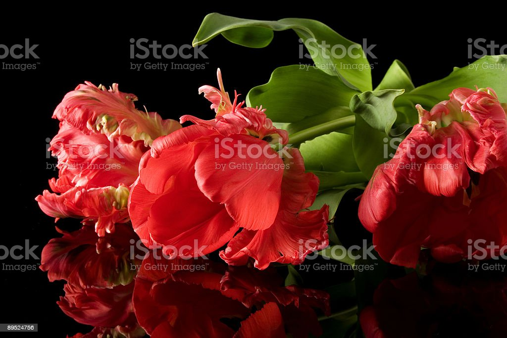 Red tulp royalty-free stock photo