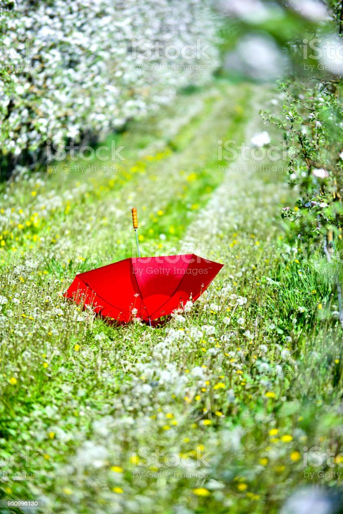 red umbrella in an blossoming apple orchard in april stock photo