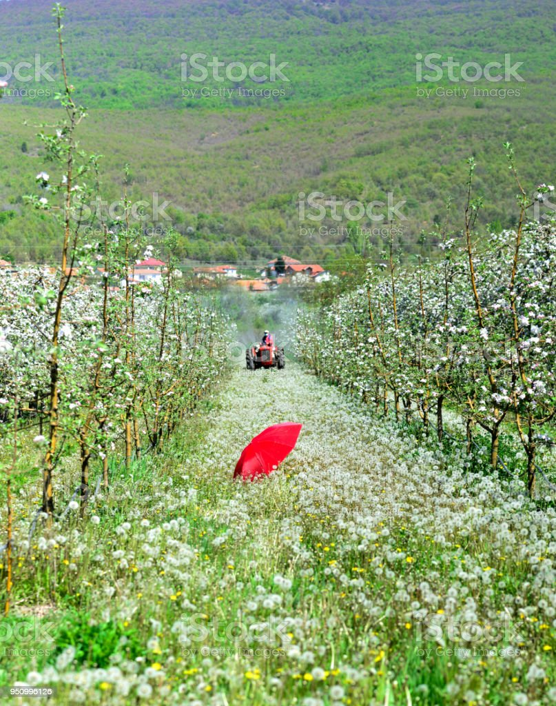 red umbrella in an blossoming apple orchard in april,image of a stock photo