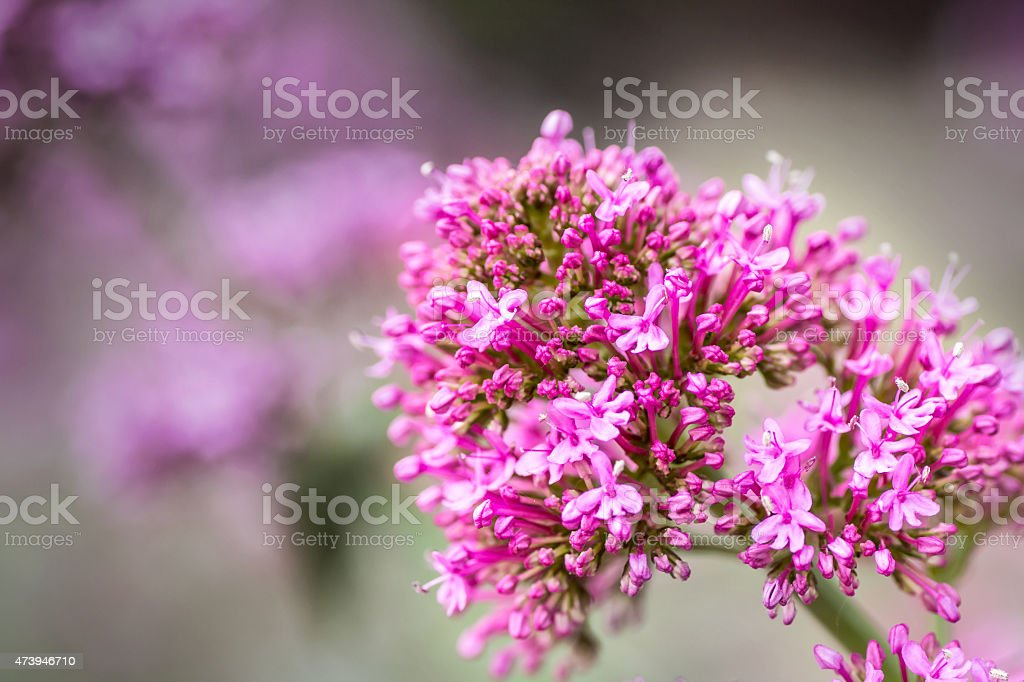 Red Valerian flower blossoming in spring stock photo