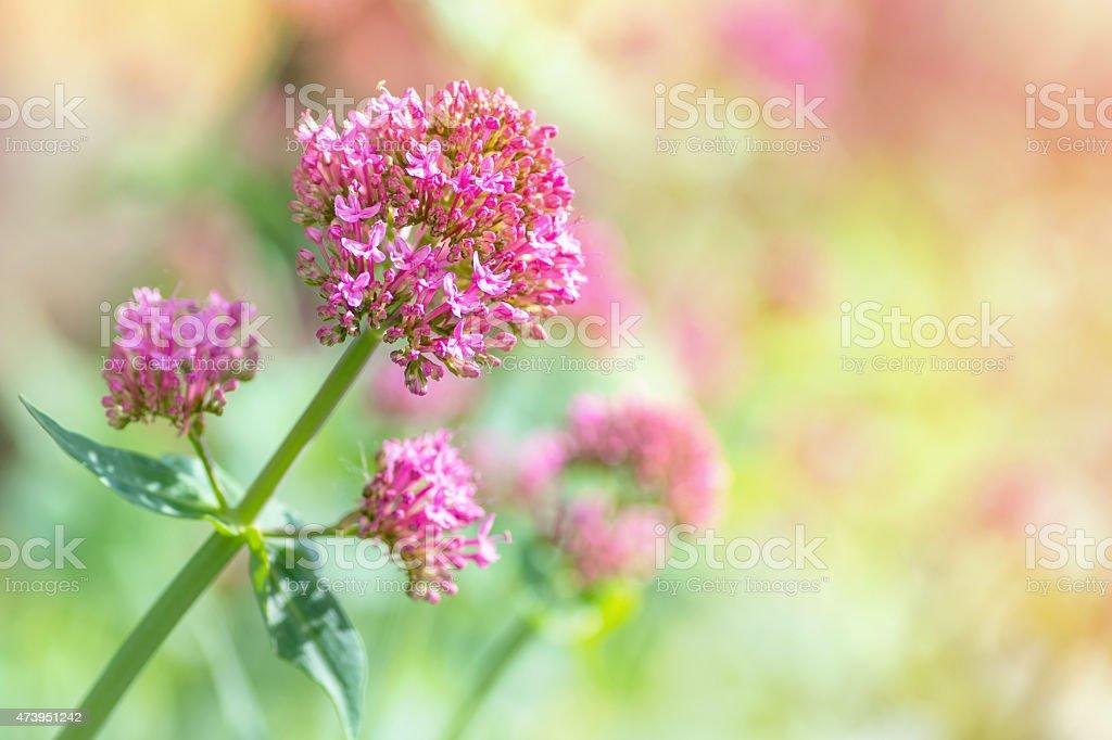 Red Valerian Blumen blühenden im Frühling – Foto