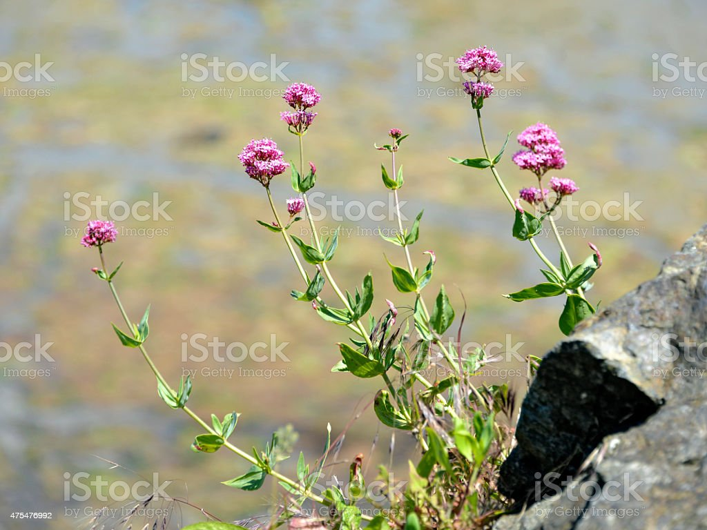 Red valerian flowers stock photo