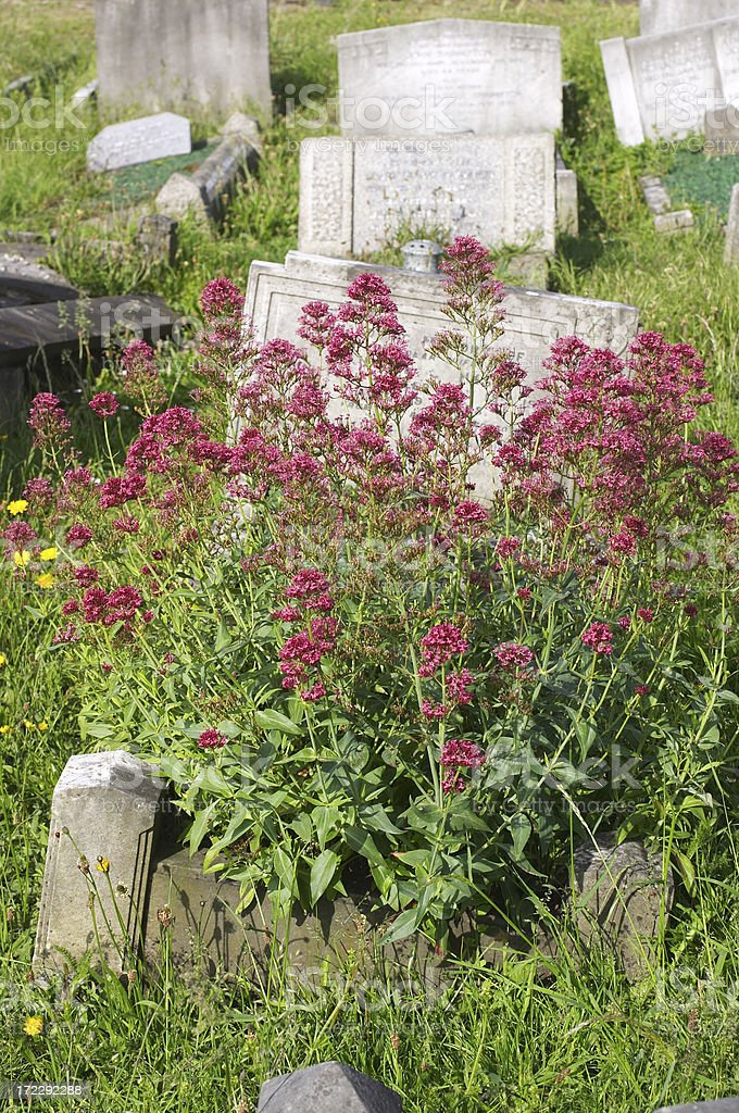 Resting place for red valerian Centranthus ruber stock photo