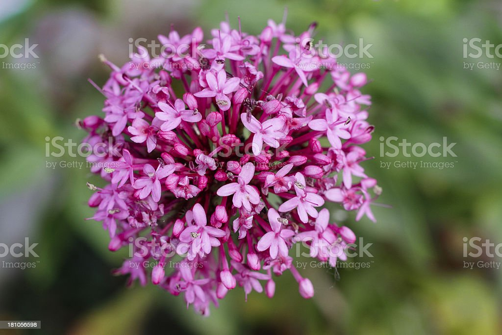 Deep pink flowers red valerian Centranthus ruber stock photo