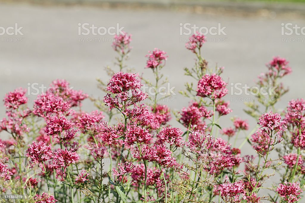 Red-pink flowers of red valerian Centranthus ruber stock photo