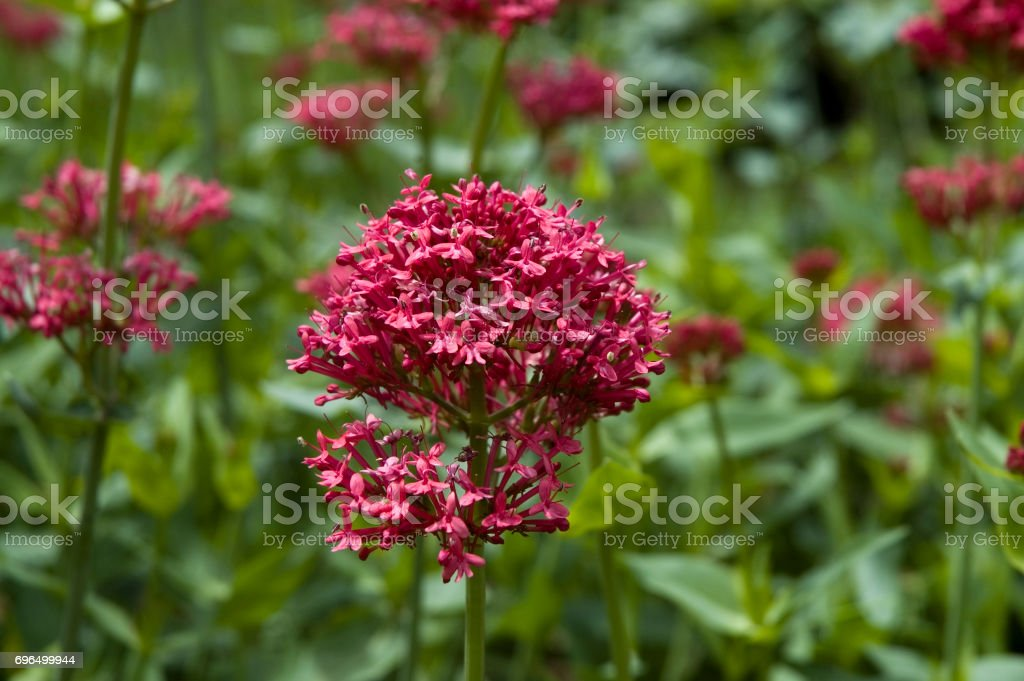 red valerian stock photo