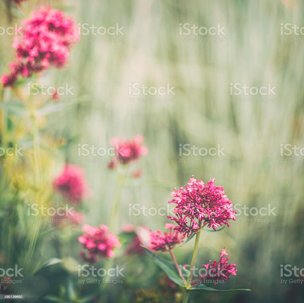 Red valerian wildflowers in natural light stock photo
