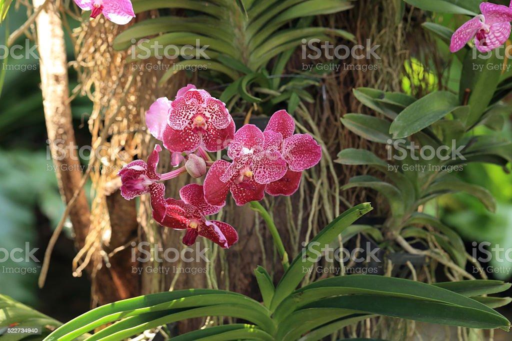 Red vanda orchid, natural garden scene. stock photo